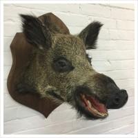 French Taxidermy Wild Boars Head