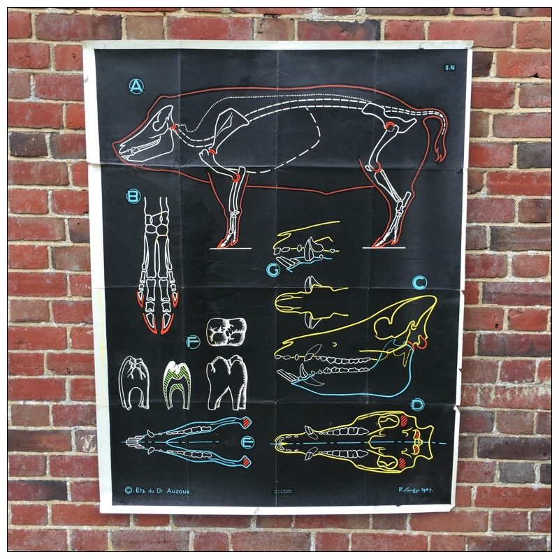 French Anatomy of a Pig Poster | Mayfly Vintage